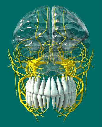 Trigeminal view from the front for dental care